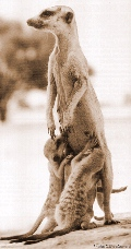 babyswmother(meerkat.org).jpg (19113 bytes)